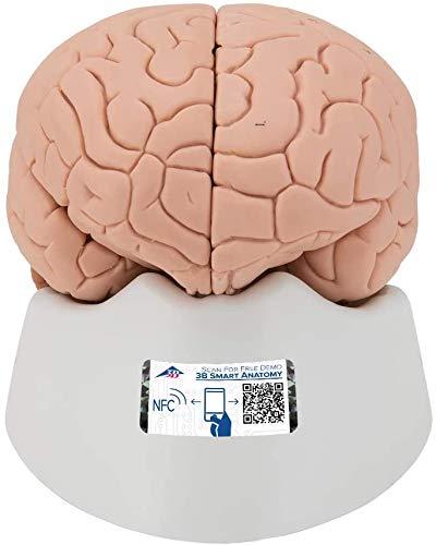3B Scientific C15/1 Modelo de anatomía humana Encéfalo Económico, desmontable En 2 Piezas + software de anatomía gratuito - 3B Smart Anatomy