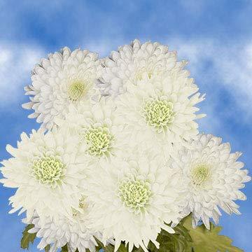 GlobalRose 50 Fresh Cut White Chrysanthemum Disbud Flowers - Fresh Flowers For Birthdays, Weddings or Anniversary. by Globalrose