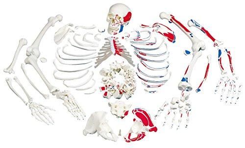 3B Scientific Menschliche Anatomie - Skelett mit Muskeldarstellung, unmontiert + kostenloser Anatomiesoftware - 3B Smart Anatomy