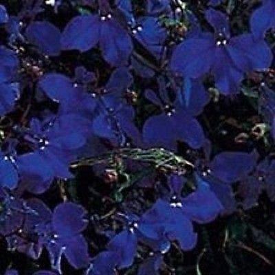 50+ Lobelia Regatta Midnight Blue Graines de fleurs/annuel