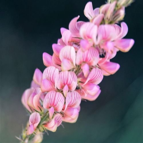 New PINK Esparsette Gemeinsame Saat-Esparsette Heilige Klee Leguminosen Blumen 50+ Samen