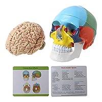 Baoyouls 1:1スケールのカラフルな人間の成人の頭部モデルと脳幹の解剖学医療教育ツールの供給