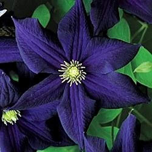 50 Dark Purple Clematis Seeds Bloom Climbing Perennial Flowers Seed Flower Vine Climbing Perennial