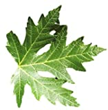 Silver Maple Tree - Acer saccharinum - Heavy Established Roots One...