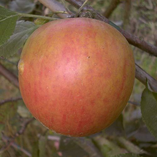 aromatischer Herbstapfel Holsteiner Cox Apfelbaum 2-jährig Busch 120-150 cm