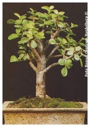 TROPICA - Arbre de Jade (Crassula arborescens) - 50 graines- Bonsai