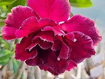 Grafted Desert Rose Plant Adenium Obesum  Firestone  #1 Rosa Del Desierto