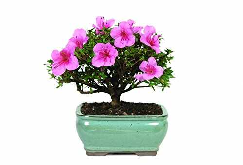 Brussel's Live Satsuki Azalea Outdoor Bonsai Tree - 5 Years Old; 6' to 8' Tall with Decorative...