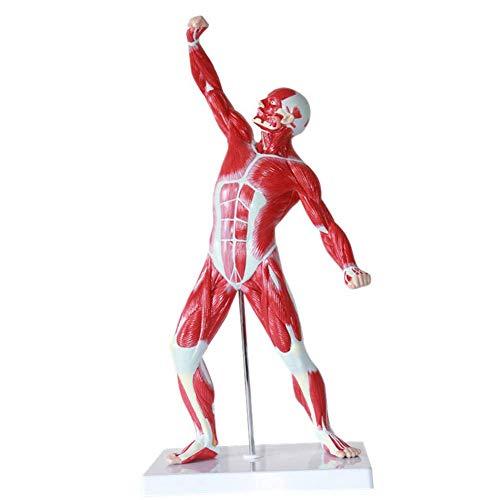 Minsong 50cm menschlicher Muskel und Skelett Anatomie Modell Medical Body School Learn Aid