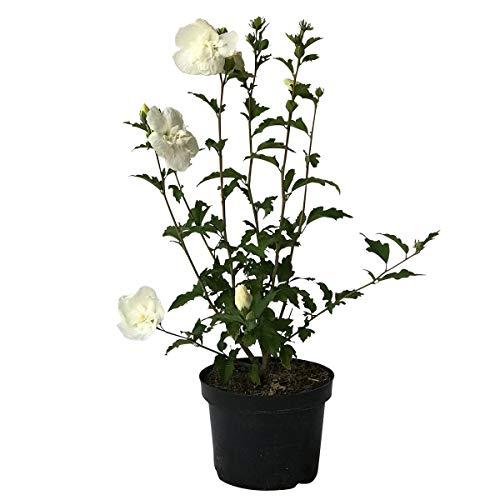 Müllers Grüner Garten Shop Roseneibisch Hibiscus syriacus White Chiffon ® reinweiß halbgefüllt ca. 40-60 cm Pflanze 3 L Topfballen