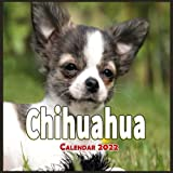 Chihuahua Calendar 2022: Cute Dog Animal Calendar 2022-2023, Monthly Square Calendar 2022, Great Gifts For Chihuahua Dog Lovers, 16 Month Calendar 2022