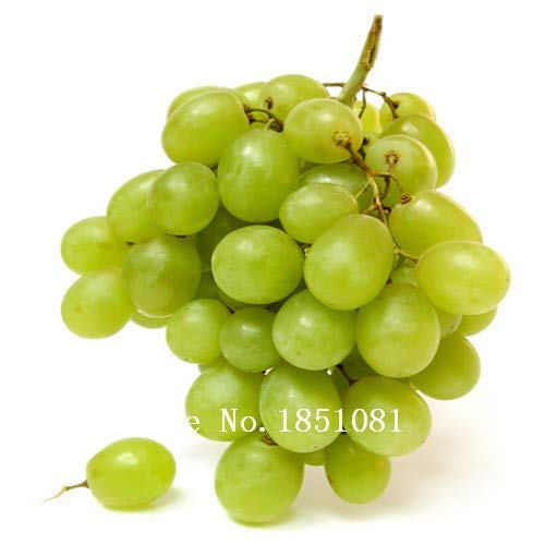 Bloom Green Co. 50 Seeds/Pack Rare Red Finger Grape Seeds Advanced Fruit Seeds Natural Growth Grape Delicious Gardening Fruit Plants: 4