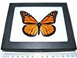 BicBugs Real Framed Butterfly Monarch DANAUS PLEXIPPUS Recto USA