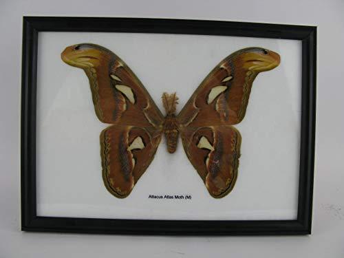 asiahouse24 Atlas Moth - Attacus Atlas Moth (M) Male - echter riesiger und exotischer Schmetterling im Schaukasten, Bilderrahmen aus Holz - gerahmt - Taxidermy