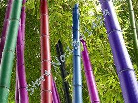 Promotion 50 graines/sac 5 couleurs Graines bambou, plante des arbres Bonsai Moso, le taux de germination de 95%, l'usine rouge
