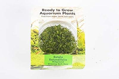 PondPlantsUK All Types in Pots - Tissue Culture in Vitro Live Aquarium Plants Carpet Tropical invitro (Rotala rotundifolia)