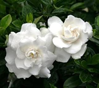 Crown Jewel Dwarf Gardenia (Cape Jasmine) Live Plant Trade Gallon Pot #NG2