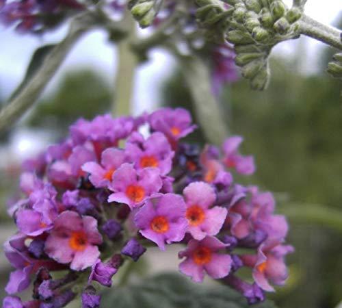 Buddleja davidii Flower Power - Schmetterlingsstrauch -