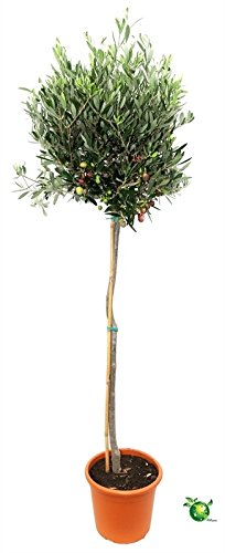 Olivenbaum, Stamm, (Olea europea), Tragen dieses Jahr Oliven, kräftige Bäume, (ca. 100cm hoch, im ca. 21cm Topf)