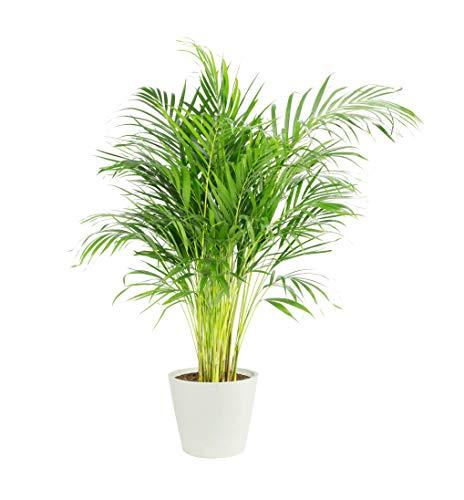 Zimmerpflanze, Zimmerpflanze, Grünpflanze, Areca-Palme, Höhe 100-125 cm, einfache Pflege (100 cm, weiß)