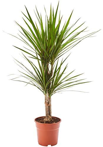 AIRY Drachenbaum Zimmerpflanze, Dracaena marginata (17 cm Topf). Verbessert Raumklima und Luftqualität. Passend zum AIRY Luftreiniger.