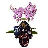 ミディ胡蝶蘭 2本立ち ピンク 風呂敷包み 福むすび 宝づくし お祝い ギフト