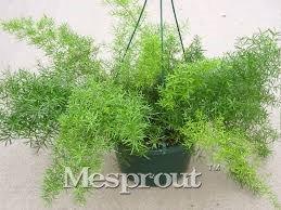 Mix Minimum Perennial Asperges Graines Bonsai Healthiest légumes délicieux nutritifs 100PCS Spring & Autumn maison Easy Grow