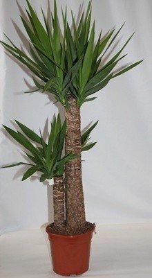 Yuca (2 troncos) - Planta viva de interior