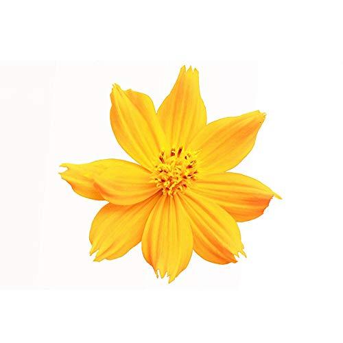 Suhua Chrysanthemensamen Gesang Blumensamen Yellow Cosmos Blumensamen Gartenlandschaft Begrünung Blume Seeblume Gras Blumensamen 500 Körner