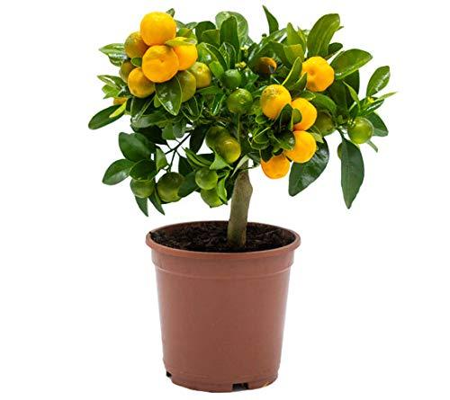 Calamondin - naranjo enano de interior - cítricos comestibles - maceta plástico 14 cm - planta...