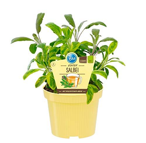 Bio Salbei Echter Salbei (Salvia officinalis), Kräuter Pflanzen aus nachhaltigem Anbau, (1 Pflanze)