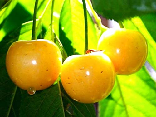 Süßkirsche Paula,Kirschbaum.Gelbe Knorpelkirsche,Glaskirsche