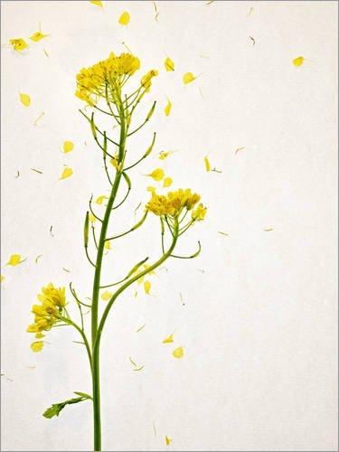 Posterlounge Leinwandbild 30 x 40 cm: Senfblume von Axel Killian/Mauritius Images - fertiges Wandbild, Bild auf Keilrahmen, Fertigbild auf echter Leinwand, Leinwanddruck