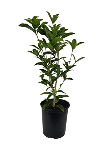 Fragrant Tea Olive ( osmanthus fragrans ) - Trade Gallon