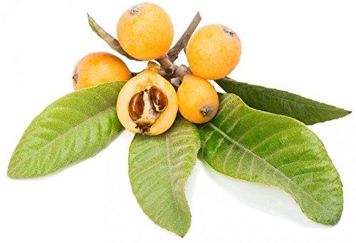 Néflier Nisperos Rosaceae néflier du Japon chinois Plum Pipa Seeds 2 PCS EXOTIQUE!