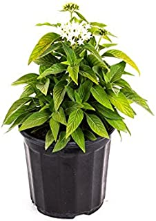 AMERICAN PLANT EXCHANGE White Penta Indoor/Outdoor Air Purifier Live Plant, 6