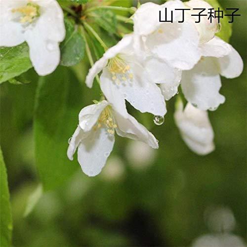 Aerlan Couleur Riche graines,Bonnes graines de greffage Graines de Montagne Dingzi-1kg,Jardin Graines