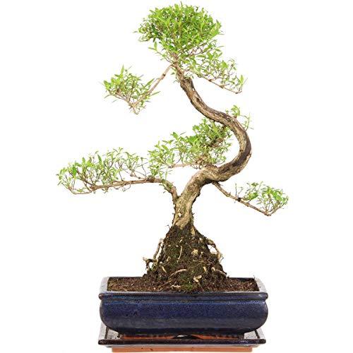 Junischnee, Bonsai, 11 Jahre, 45cm