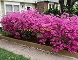 honic 20 pezzi albero azalea azalea fiori per giardino di casa fai da te bel fiore per fioriere vaso di fiori: 2