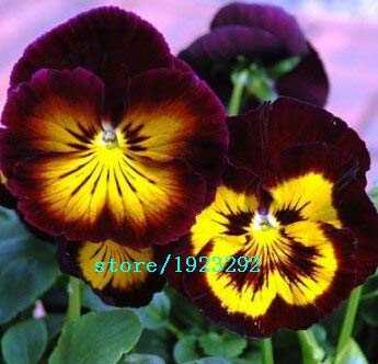 Bloom Green Co. 100 charming White Viola Tricolor Pansy Flower Seeds easy-to plant perennial bonsai potted DIY home& garden original packing A087: Purple