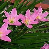 CUSHY Zephyranthes- Rosa Pioggia Lily, (10 lampadine). Ora spedizione! Deer resistenti