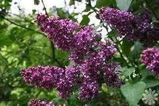 SYRINGA 'CHARLES JOLY' - LILAC - FRAGRANT - PLANT - APPROX 4-6 INCH - DORMANT