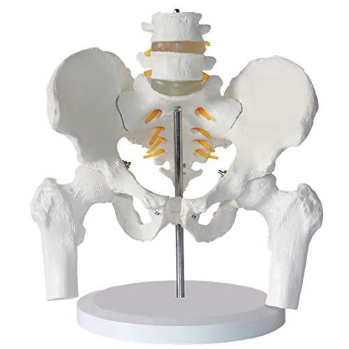 EMGAO Human Anatomy Bone Medical Life Size Weibliches Pelvis-Skelett Modell Menschliche Pelvi Anatomische Anatomie Skeletal Modelle Medizinische Geräte Medizinische Instrumente