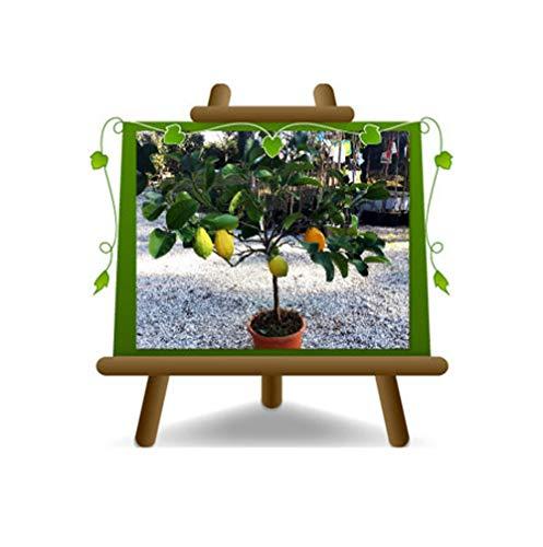 Citrus Cedar - Citrus Medica - Plante sur un pot de 22 - Arbre max 75 cm
