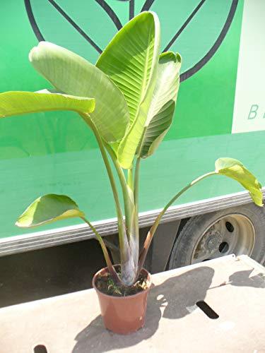 Strelitzia nicolai 100 cm, Boom strelitzia, boom paradijsvogel bloem