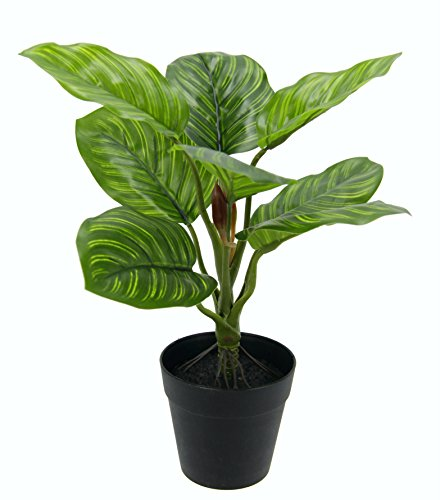 Maranthuspflanze im Topf