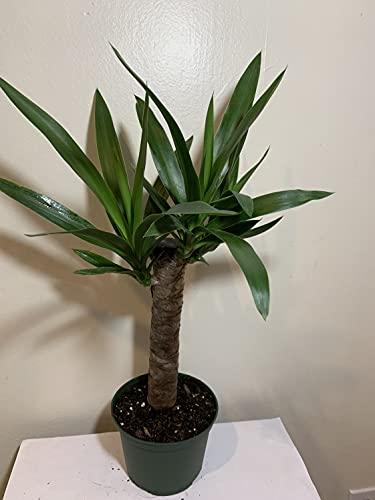 丝兰/大象/室内植物/户外植物/6英寸花盆3612971