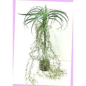 Artificial Bromeliad Air Grass Hanging Vine Stem Dusty Green Artificial 28″ Flowers Bouquet Realistic Flower Arrangements Craft Art Decor Plant for Party Home Wedding Decoration