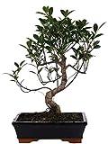 Bonsai di Ficus Retusa (S shape) in vaso ceramica Ø25 Cm./H 40 Cm.