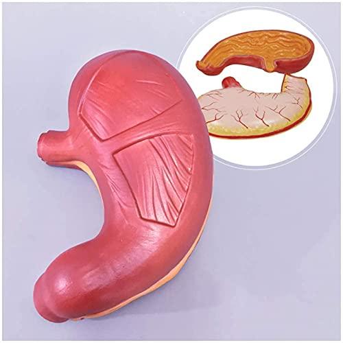 BGDGTP Modelo de estómago, Modelo anatómico de órganos Humanos Modelo de anatomía de estómago, Aparato digestivo de esófago de mucosa de Pared de estómago Humano gastrointestinal anatómico